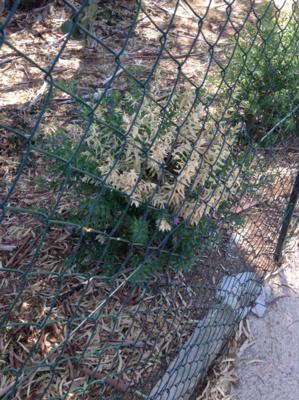Polygala myrtifolia touché par Xylella