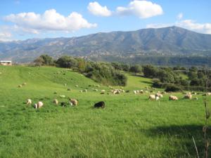 Prairie pâturée par des ovins