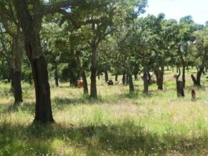 Prairie sous suberaie pâturée par des bovins