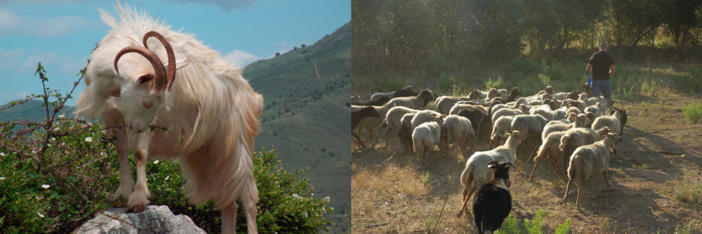 Chèvre Corse / Un berger et son troupeau