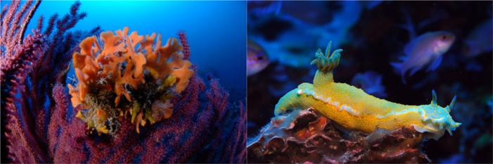 Cliché de gauche, bryozoaire (Pentapora fascialis) fixé sur une gorgone pourpre (Paramuricea clavata) ; cliché de droite : Doris géant (Felimare picta) © Andromède Océanologie