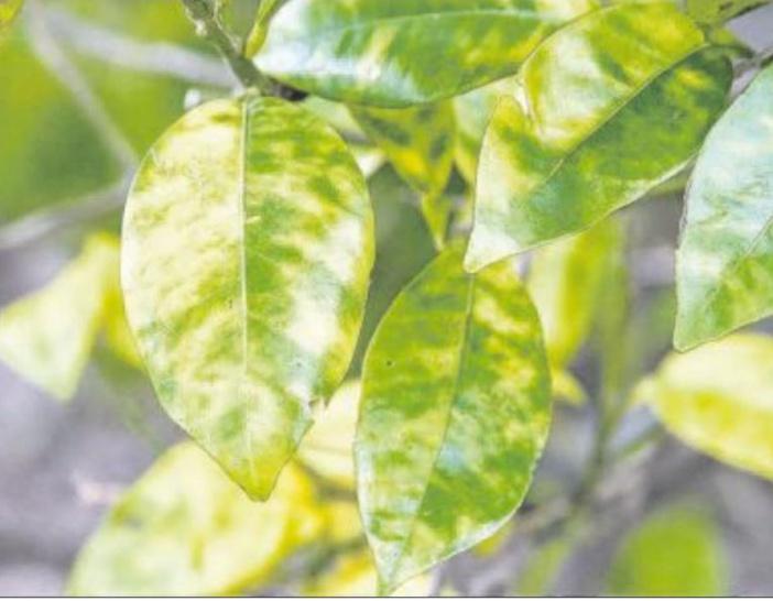 Les vergers d'agrumes confrontés au dragon jaune