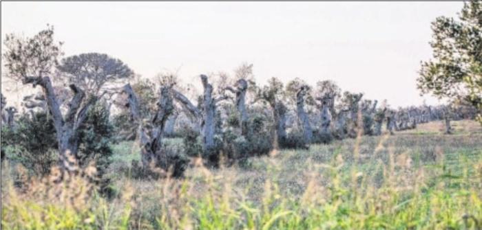Xylella fastidiosa : des variétés résistantes pourraient mettre fin au désastre