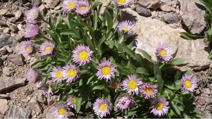 Mare latinu : La Corse un carrefour botanique en Méditerranée.
