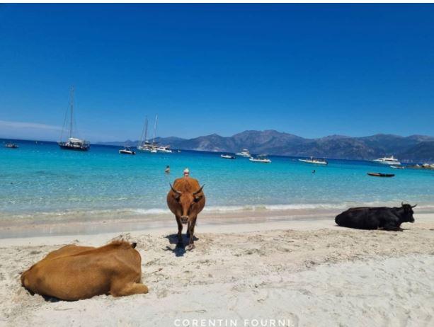 Au Lotu, les vaches sont à la plage