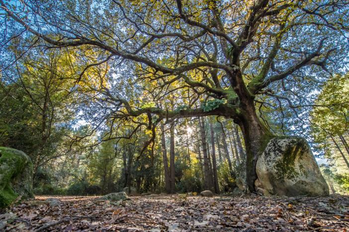 Chêne pubescent (querciu) - Quenza (© E.Volto)