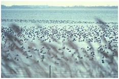 Population de foulques sur l'étang de Biguglia, G.F. FRISONI