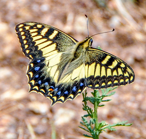 Papilio hospiton  (photo C. Berquier)