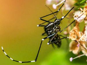 Aedes albopictus, moustique tigre ©Dan Leeder