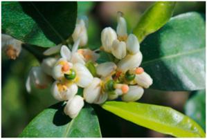 Fleurs de clémentiniers