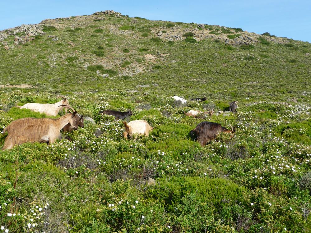 Utilisation du maquis par des chèvres corses