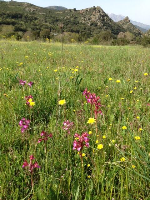Orchidées sauvages dans une prairie natuelle