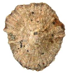 A patella gigante