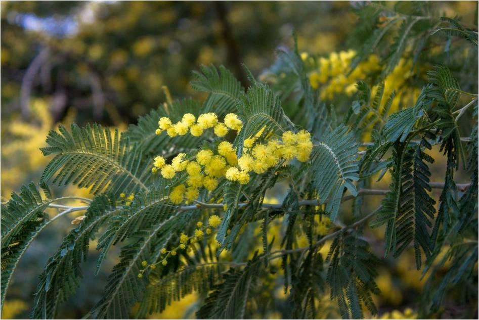 Acacia dealbata Link. / Mimosa d'hiver
