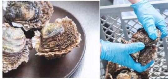 L'huître plate, une perle de la recherche à l'Université de Corse / CNRS