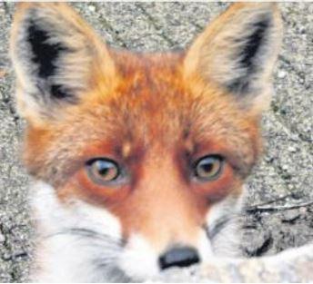 Maître renard vint poser à Piedilacorte