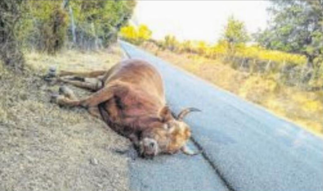 Quatre vaches abattues à U Petrosu : peine et stupeur