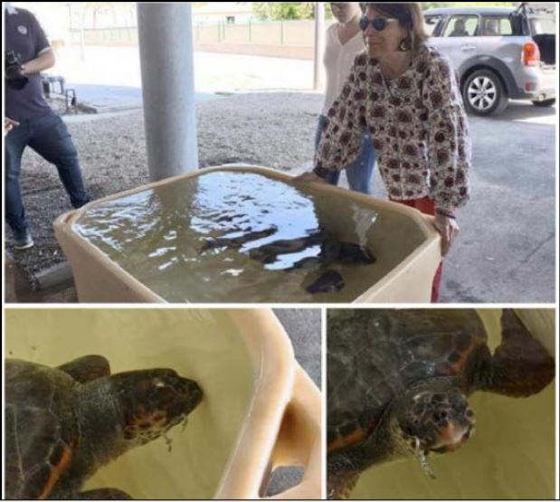 BASTIA   Une tortue caouanne secourue
