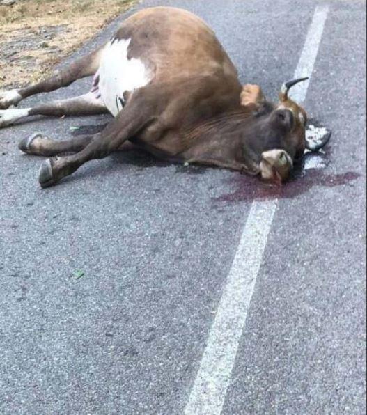 Sept vaches abattues à Monte