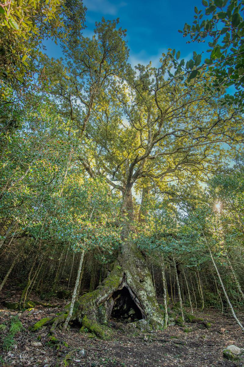 Soutenez la candidature de la corse au concours de l'arbre de l'année