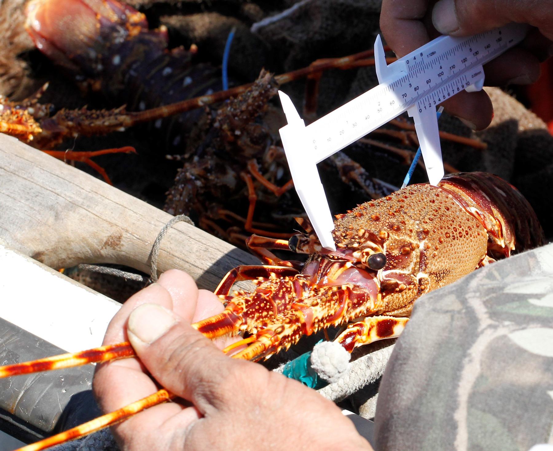 Programme de suivi par marquage/recapture de langoustes rouges en Corse dans le cadre du projet ALIGOSTA