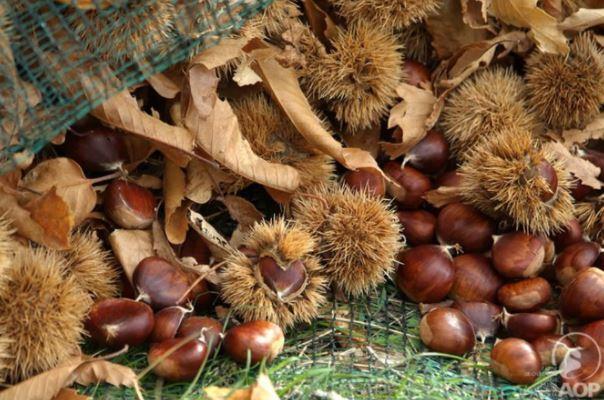 En Corse, après dix ans de Cynips, la production de châtaignes reprend