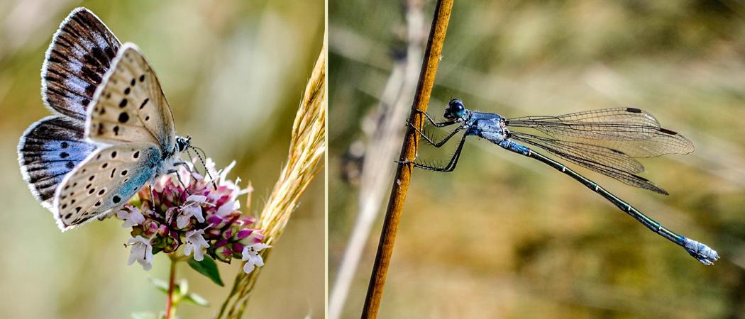Maculinea arion et Lestes macrostigma (photos C. Berquier)