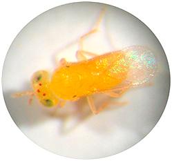 Aphytis melinus, prédateur du pou rouge de Californie, utilisé pour la lutte biologique