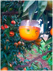 Piège utilisé pour la lutte contre la mouche méditerranéenne des fruits