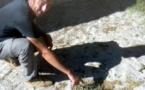 La survie de la buglosse crépue menacée en Corse