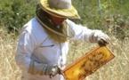 Les abeilles plus que jamais fragilisées par la sécheresse