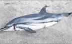 Un dauphin retrouvé échoué sur la plage d'Abbartello