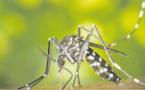 Le moustique tigre prêt à mordre ?