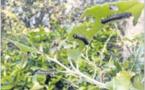 Le Bombyx disparate envahit les chênaies de l'Extrême-Sud