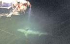 Deux requins peau bleue dans le port de Propriano