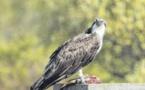 L'avifaune Falasurminca fragile comme l'écosystème
