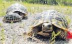 56 tortues d'Hermann volées à la Cupulatta