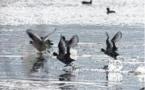 80 % des oiseaux migrateurs menacés