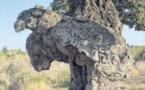 L'Arburacellu élu plus bel arbre de l'année