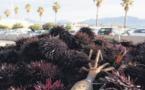 La saison des oursins démarre après une ouverture contrariée