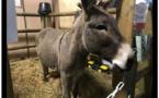 Paris : L'âne corse, star du Salon de l'agriculture 2019