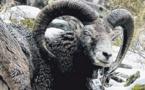 Des mouflons corses implantés illégalement en Belgique
