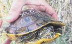 La tortue de Floride, une espèce exotique devenue encombrante