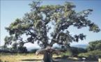 Les arbres remarquables en voie de préservation