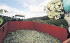 Vendanges : le vignoble corse retrouve (presque) son rythme
