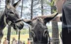Des ânes au pays des chevaux à l'hippodrome de Viseo