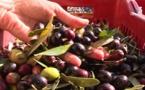 Depuis 15 ans, l'appellation d'origine protégée Oliu di Corsica dope la filière