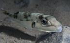 Corse : méfiez-vous du poisson à tête de lièvre