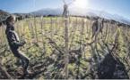La traction animale (re)gagne du terrain dans l'agriculture
