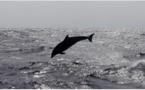 Méditerranée : Menaces sur les dauphins